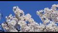 Cherry Blossom 31028202