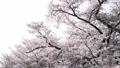 風になびく満開の桜 逆光 31064966