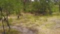 Moving shot of kangaroos in the bush 31104886