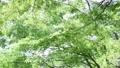 風に揺れる新緑 31105333