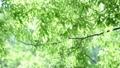 風に揺れる新緑 31105334