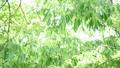 風に揺れる新緑 31105337