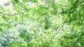 風に揺れる新緑 31105338
