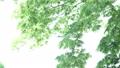 風に揺れる新緑 31105339