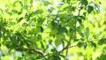 梅の実 フィクス撮影 31130135