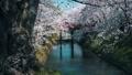 弘前城桜まつり_2017 31278347