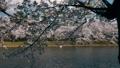 弘前城桜まつり_2017 31278357