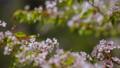 春の里山 ヤマザクラ 31345127