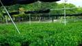 森の中で風にゆれる茶畑 31373957