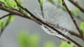 雨上がりの蜘蛛の巣 31378448