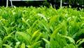 風にゆれる茶の葉 31405573