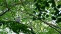 フクロウ エゾフクロウ 鳥の動画 31420292