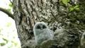 Ezo Owl的一個嬰兒,他從綠色森林中的一棵大樹的巢中露出一張可愛的臉 31425428