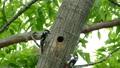 キツツキの雛が巣穴から顔を出し, 親鳥から給餌を受けているシーン._1 31511573