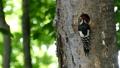 啄木鳥的雛鳥從巢穴中出來並從父母那裡接受餵養的場景 31511575