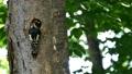 啄木鳥的小雞從巢穴中出來並從母鳥那裡接受餵養的場景 31511576