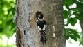 啄木鳥的小雞從巢穴中出來並由父母餵養的場景 31532303