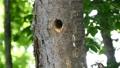 一個場景,啄木鳥的小雞從它們的巢洞中面朝外,正在從母鳥那裡接受餵養 31532304