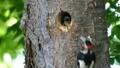 一個場景,啄木鳥的小雞從它們的巢洞中出來,正在從母鳥那裡接受餵養 31545056