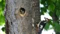 一個場景,啄木鳥的小雞從它們的巢洞中出來,正在從母鳥那裡接受餵養 31545057