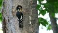 一個場景,啄木鳥的小雞從它們的巢洞中出來並從父母那裡接受餵養 31545058