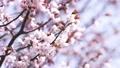 cherry blossom, cherry tree, fake buyer 31716553