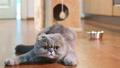 Scottish Fold cat indoors 31791884