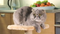 Purebred Scottish Fold cat  31791886