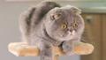 Gray Scottish Fold cat  31791887