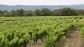 南仏、ワイナリーの葡萄畑 31845869