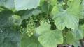 南仏、ワイナリーの葡萄畑 31845871