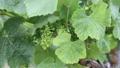 南仏、ワイナリーの葡萄畑 31845872