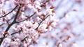 桜 (フィクス撮影) 31854800