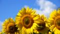 植物 花 向日葵の動画 31898162