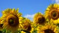 植物 花 向日葵の動画 31898164