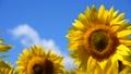植物 花 向日葵の動画 31898168