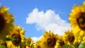 植物 花 向日葵の動画 31898180