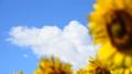 夏の青空とヒマワリ-6148911 31898183