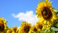 夏の青空とヒマワリ-6148913 31898184