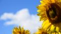 植物 花 向日葵の動画 31898185