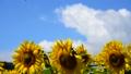夏の青空とヒマワリ-6148922 31898188