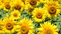植物 花 向日葵の動画 31898195