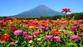 富士山 山 花の都公園の動画 31899409