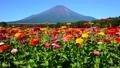 富士山 山 花の都公園の動画 31899410