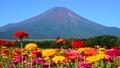 富士山 山 花の都公園の動画 31899412