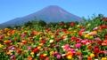 富士山 山 花の都公園の動画 31899416