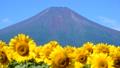 富士山 山 風景の動画 31899425