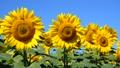 植物 花 向日葵の動画 31899426