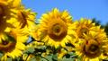 植物 花 向日葵の動画 31899427