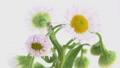 花 開花 開くの動画 31936236